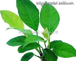 Exotic Live Aquatic Plant for Fresh Water Anubias heterophyl
