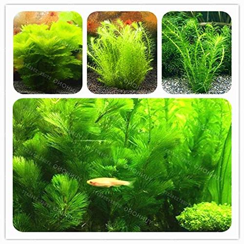 MAPPLEGREEN 500 Pcs MAPPLEGREEN Aquarium Bonsai Aquatic Plant Bonsai for Decorate Green Landscape 3