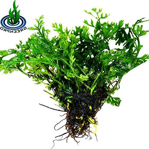 Bolbitis Baby Leaf Fern Potted Plants for Freshwater Tank by Greenpro
