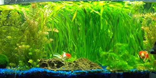 Jungle Vallisneria Rooted Plants 1.5-2 Tall Easy Background Plants