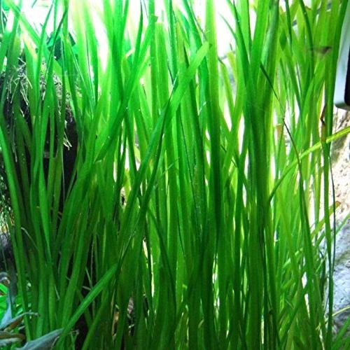 jungle vallisneria rooted tall