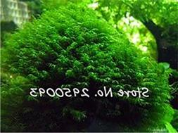 Phoenix Moss Seeds Sagina Subulata Seeds, Bonsai Decorative
